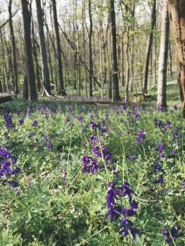 Bluebells in the woods at Radnor Lake State Park